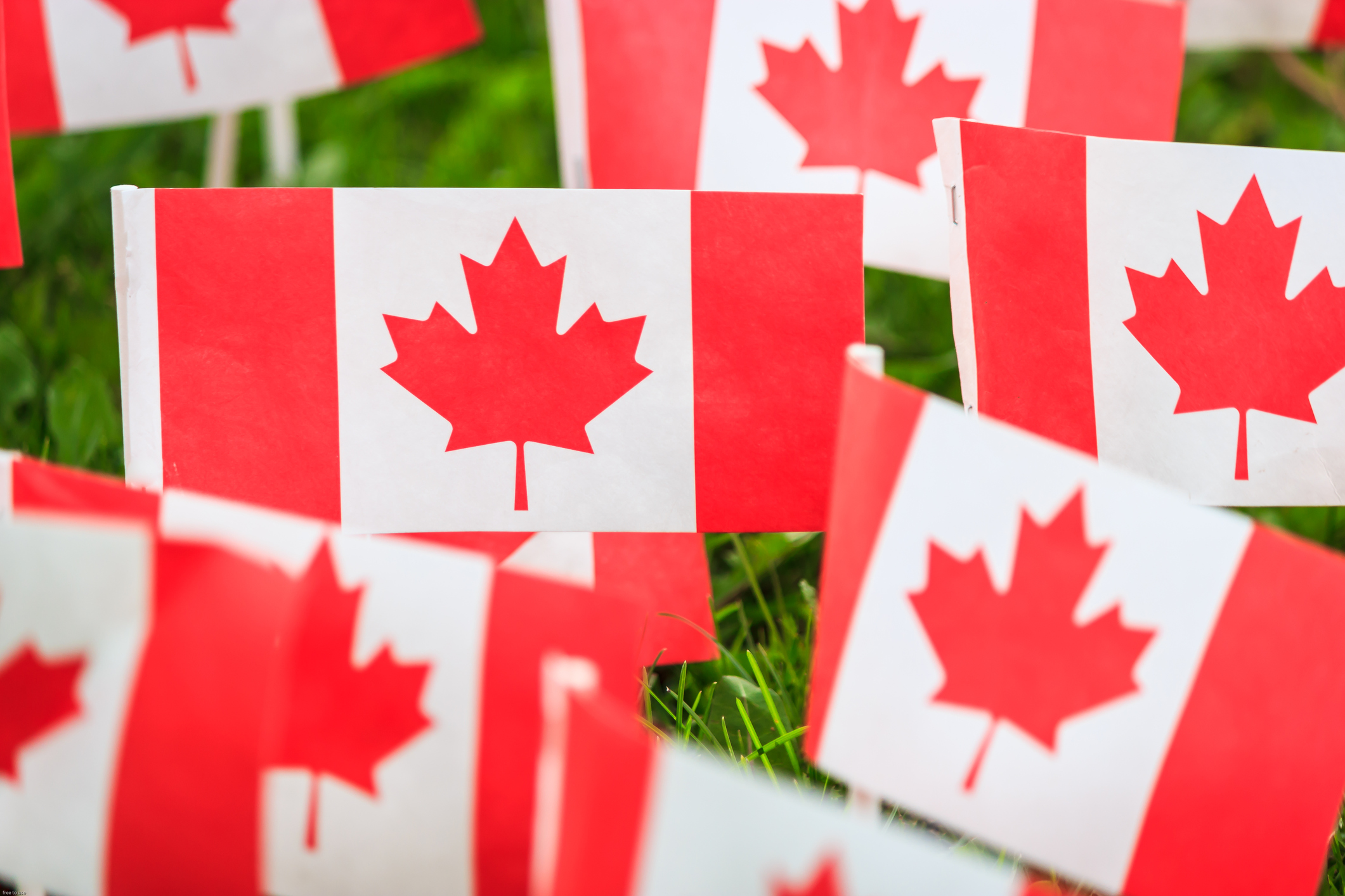 Miniature Canadian flags in a field