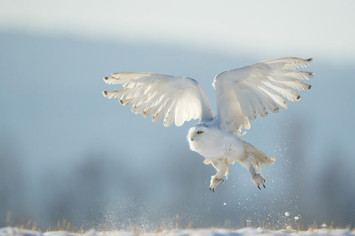 Snowy owl taking off to flight