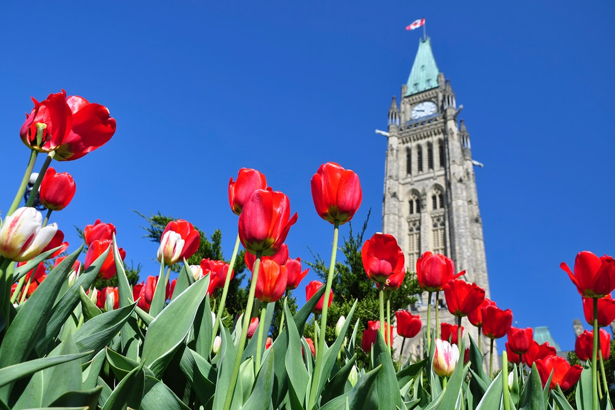 Tulips bloom in front of Canada's parliament building in Ottawa.